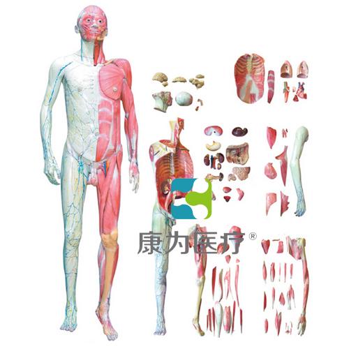 """""""万博体育app登陆医疗""""人体全身层次肌肉解剖模型"""