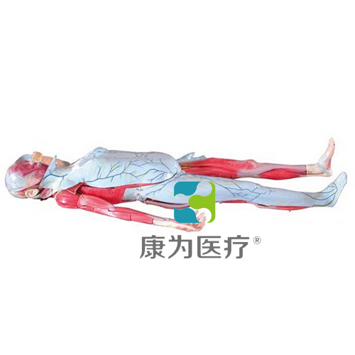 """""""万博体育app登陆医疗""""姜式人体层次解剖模型"""