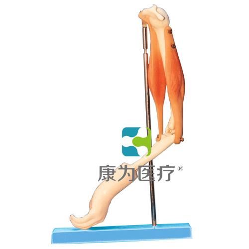 """""""康为医疗""""肘关节与肌肉示教模型"""