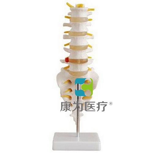 """""""万博体育app登陆医疗""""自然大腰椎带尾椎骨模型"""