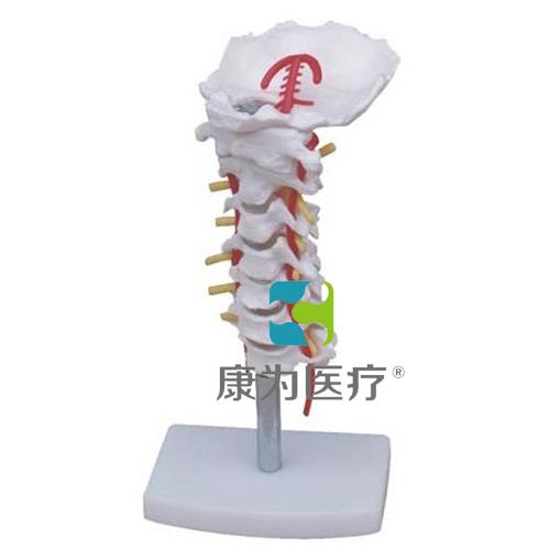 """""""万博体育app登陆医疗""""颈椎带颈动脉模型"""