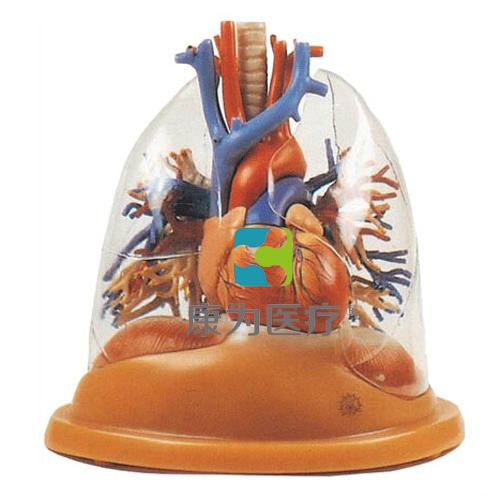 """""""康为医疗""""透明肺、气管、支气管树连心脏模型"""