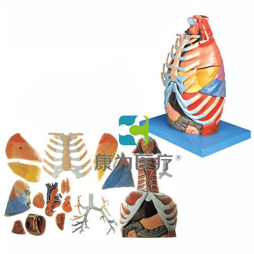 """""""万博体育app登陆医疗""""胸腔解剖模型"""