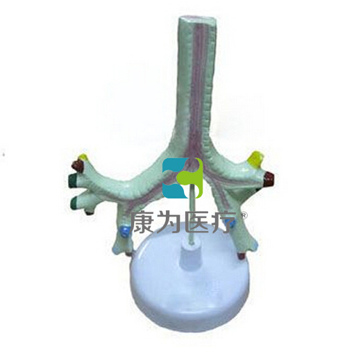 """""""万博体育app登陆医疗""""气管、支气管及肺段支气管模型"""