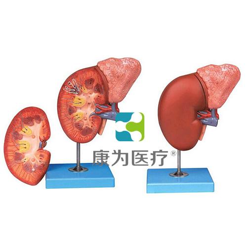 """""""万博体育app登陆医疗""""肾脏与肾上腺放大模型"""