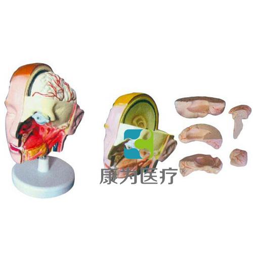 """""""万博体育app登陆医疗""""头解剖附脑模型(6部件)"""