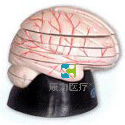 """""""万博体育app登陆医疗""""脑水平切面模型"""