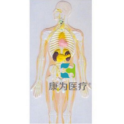 """""""万博体育app登陆医疗""""神经系统及内分泌腺浮雕模型"""