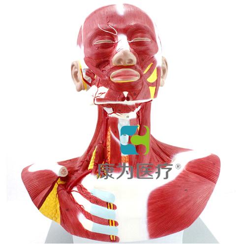 """""""万博体育app登陆医疗""""人体头颈胸肌肉解剖模型"""