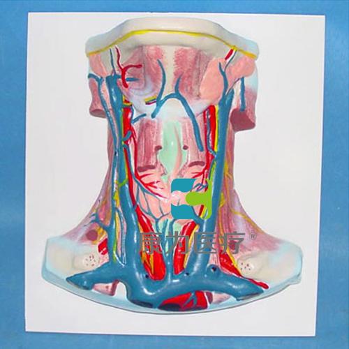 """""""万博体育app登陆医疗""""颈部动静脉血管分布模型"""