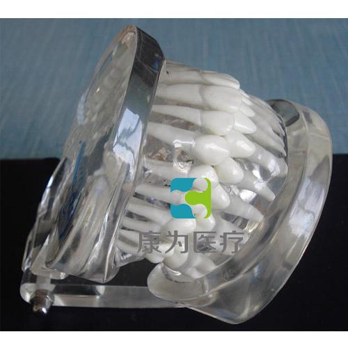 """""""康为医疗""""标准水晶牙列模型(带颌架)"""