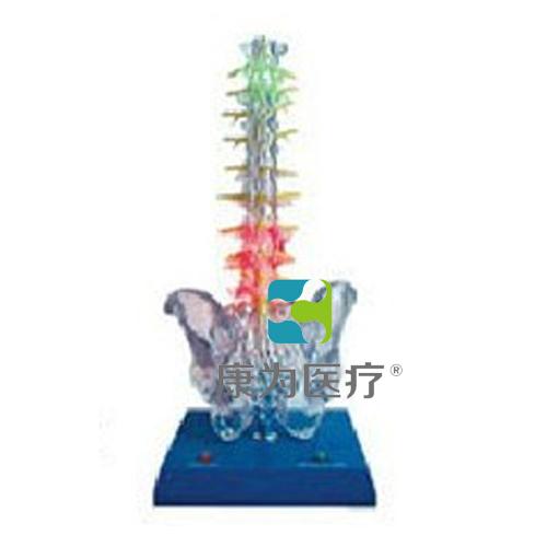 """""""康为医疗""""透明脊柱电动模型"""