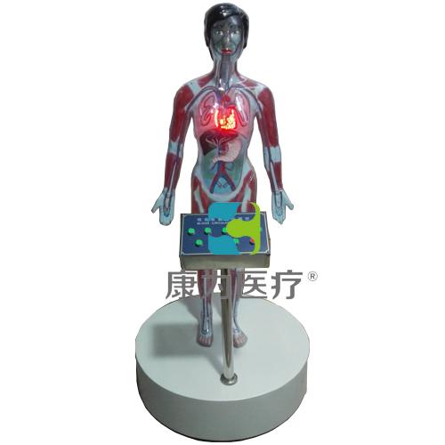"""""""康为医疗""""吸毒危害人体血液循环模型 九键"""