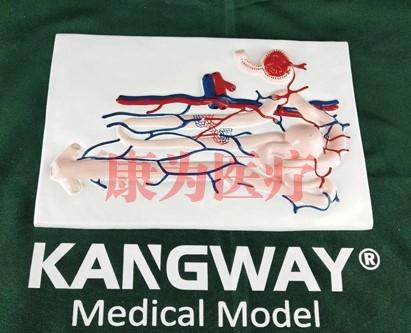 """""""康为医疗""""肾单位肾小球及足细胞"""