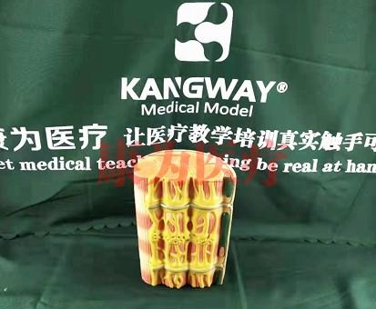 """""""康为医疗""""骨骼肌超微结构模型"""