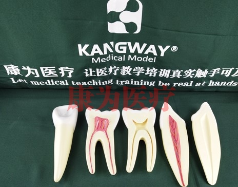 """""""康为医疗""""牙解剖模型(3只/套)"""