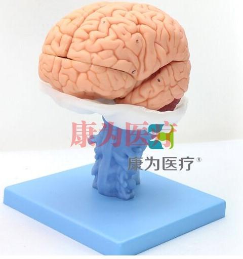 """""""康为医疗""""医学人体大脑解剖模型"""