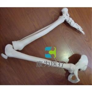 """""""康为医疗""""下肢骨连髋骨模型"""