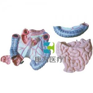 """""""康为医疗""""结肠空回肠解剖模型"""