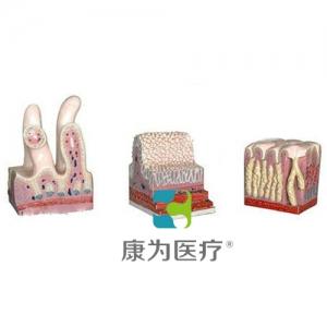 """""""康为医疗""""消化管道构造模型"""
