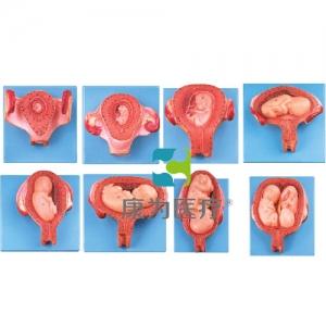 """""""康为医疗""""妊娠胚胎发育过程模型"""
